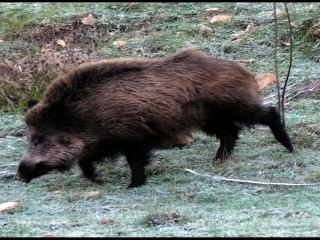 जंगली सूअर आवाज़